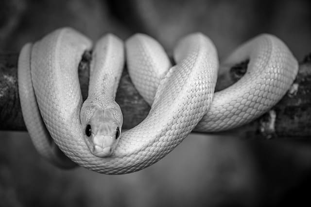 Short Story - The White Snake and The Black Snake